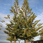 Norfolk Pine i Kaikoura