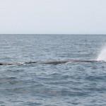 Kaskelott utanför Kaikoura sprutar vatten vid syresättning