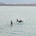Späckhuggare med kalv simmar vidare