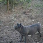 För att komma till Puben i Murchison fick vi passera svinen...
