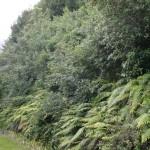 Vacker grönska längs väg 6 på Nya Zeeland
